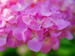 Pink hydrangea (Raoul Pop) Tags: garden morning spring color flowers plants hydrangea home macro