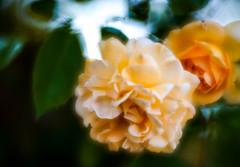 Golden Rose (judy dean) Tags: velvet56 stowonthewold judydean lensbaby rose gold