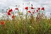 Hemoglobina (galavardo) Tags: panasonic lumix lx100 amapolas poppies verde rojo green red primavera springtime