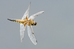 Dragon FLY (Paul Wrights Reserved) Tags: dragonfly dragonflies dragonflyinflight flight inflight flying flyinginsect fly action actionphotography wings veins eyes eye body thorax insect insects nature naturephotography wildlife wildlifephotography macro