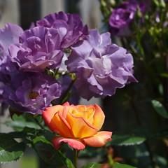 DSC_0164 (PeaTJay) Tags: nikond750 sigma reading lowerearley berkshire macro micro closeups gardens outdoors nature flora fauna plants flowers rose roses rosebuds