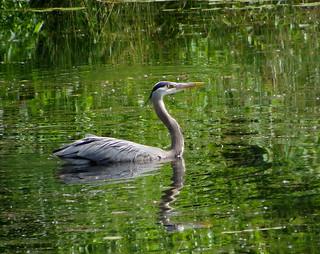 'Swannabe' Heron IMGP6755