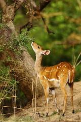 Bushbuck (Jonas Van de Voorde) Tags: pendjari benin westafrica jonasvandevoorde safari wildlife nature animals antelope bushbuck guibharnaché tragelaphusscriptusscriptus