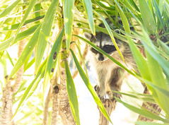 Raccoon in our tree (stshank) Tags: home raccoon