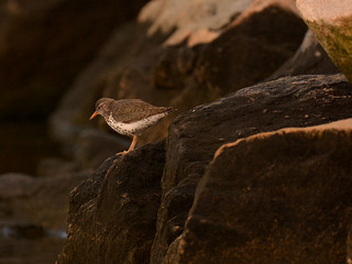 Spotted Sandpiper ..........