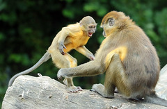 Goldenbellied mangabey Burgerszoo JN6A6876 (j.a.kok) Tags: animal africa afrika aap mammal monkey mangabey goudbuikmangabey goldenbelliedmangabey zoogdier dier burgerszoo burgerzoo