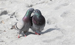 Kissing Rock Doves (Columba livia); Englewood Beach, FL [Lou Feltz] (deserttoad) Tags: bird wildbird dove nature florida park refuge desert behavior
