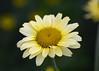 Anthemis (John_E1) Tags: anthemis flower plant bloom yellow lemon