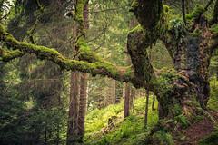 green in green (mad_airbrush) Tags: 5d 5dmarkiii green grün austria österreich woods trees wald baum tree forest 2470mm ef2470mmf28lusm moos deepforest saalbachhinterglemm
