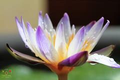 蓮 (~金玉~ Y.C.CHEN) Tags: flower nature plant purple green light beautiful bokeh canon color 7d