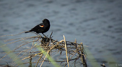 Redwinged Blackbird (mike_sylvester@ymail.com) Tags: birds wildlife new jersey sony sonya6000 birding photography atlanticcity a6000