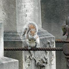 Brompton Cemetery Squirrel! (RiverCrouchWalker) Tags: greysquirrel sciuruscarolinensis bromptoncemetery gardencemetery may 2018 spring graves memorialstones london