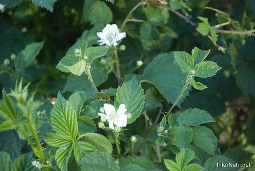 Шацький Національний Природний Парк Озеро Пісочне Кущі і цвіт InterNetri  Ukraine 229