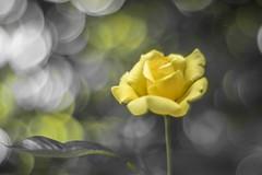 Roses (Torok_Bea) Tags: rózsa roses bokeh carlzeissplanar50mm carlzeiss planar natur flower flowers nikon nikond5500 szeged