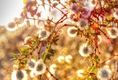 Tiny Desert Blooms MACRO MONDAY (Spebak) Tags: spebak canon canondslr canon70d macro macromonday macromondays nature natural desert sunlight blooms plant plants