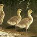 Drop Kerb for Goslings (Mia Pedaltoes) Tags: goslings canadagoslings ramp slipway pond green water vegetation spring nature