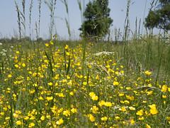 Boterbloemen (Jeroen Hillenga) Tags: boterblomen bloemen natuur netherlands nederland nature berm geel yellow flowers blumen wildebloemen wildflowers