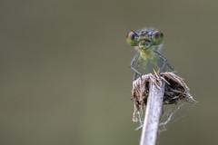 Gooood Morning :-) (michel1276) Tags: libelle damselfly dragonfly libellule odonata insect insekt macro makro olympus zuiko zuikomacro tier animal
