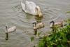 A Mother's Eye (nehall) Tags: swans cygnets muteswans muteswancygnets birds