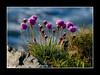 Wild Coastal Flowers (johnm2205) Tags: flora florafauna flowers coast coastal pink sea thrift wildflowers