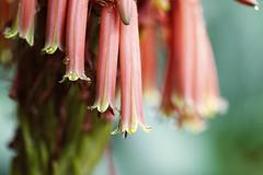 Late Autumn | Aloe (re <be>) Tags: aloe auckland beautyinnature blossom closeup daintiness fangchinglee flowers garden newzealand orange power rain raindrop thrive together