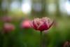 Just Flower (pqsyerg) Tags: zeissdistagon35mmf14 carlzeisscy pentaxk1 35mm distagon beyondbokeh carlzeiss