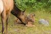 Encouragement (ChicagoBob46) Tags: elkcow elkcalf cow calf elk yellowstonenationalpark yellowstone nature wildlife coth5 ngc npc