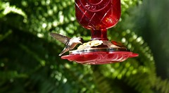 Hummingbird_0492 (2)c (Porch Dog) Tags: 2018 garywhittington kentucky nikond750 nikkor200500mm backyard hummingbird nature wildlife avian feathers bird
