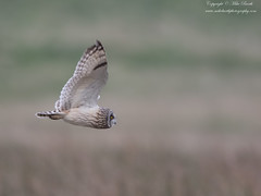 Short-eared Owl (Asio flammeus) (www.mikebarthphotography.com 1.5M Views thanks !) Tags: asioflammeus shortearedowl