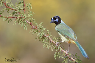 the lovely green jay: in the US: only in Texas!