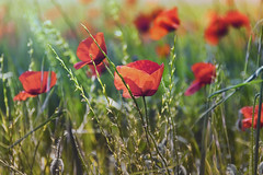 Full of the joys of spring (Dr Cullen) Tags: drcullen nikon nikond500 poppies spring 18200vr 18200mm flowers nature
