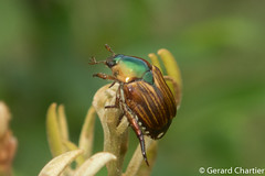 Popillia lineata (GeeC) Tags: animalia arthropoda beetles cambodia coleoptera insecta kohkongprovince nature popillia rutelinae scarabbeetles scarabaeidae scarabaeoidea tatai popillialineata