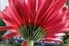 Floraler Sonnenschirm (Sockenhummel) Tags: gerbera blume blüte unten sonnenschirm balkon flower fuji x30