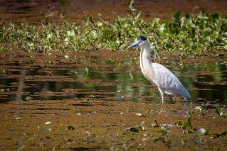 Garça-real (Pilherodius pileatus) Capped Heron