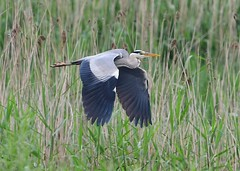 Grey Heron (gillybooze) Tags: ©allrightsreserved bird greyheron birdwatcher heron dof grass bokeh reeds marsh inflight bif outside wildlife wings 600mmf4 feathers