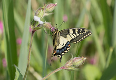 Swallowtail at Hickling Broad (Anne Richardson) Tags: swallowtail butterfly nature norfolk hicklingbroad hickling insect invertebrate macro macrophotography wildlife