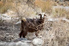 Wild goat (mzagerp) Tags: eau aue emirats arabes unis united arab emirates oman mascat mascate abu dhabi dubai bani awf wadi khalid shab mosquee mosque muslim louvre muscat masqat