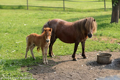 """""""mother and son in the meadow"""" (Fred / Canon 70D) Tags: steenderen horses pony meadow canon canon70d canoneos ef50mmf14usm 50mm achterhoek gelderland"""