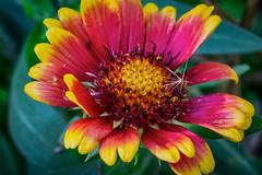 Blanket Flower (Gaillardia)
