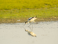 P5310338 (turbok) Tags: säbelschnäblerrecurvirostraavosetta tiere vögel wildtiere c kurt krimberger