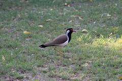 Red-Wattled Lapwing at Delhi S24A7903 (grebberg) Tags: qutubcomplex delhi india march 2018 redwattledlapwing vanellusindicus lapwing plover vanellus wader bird