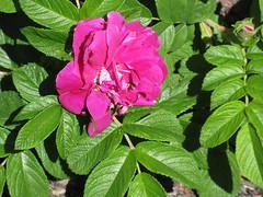 **Notre première rose de la saison ** (Impatience_1(retour progressif)) Tags: rose roserose fleur flower m impatience supershot coth coth5 alittlebeauty feuille leaf sunrays5 naturallywonderful wonderfulworldofflowers