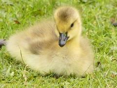 Canada gosling (Deanne Wildsmith) Tags: gosling canadagoose wolseleynaturecentre staffordshire bird earthnaturelife