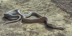 Culebras de escalera (Antonio Lorenzo Terrés) Tags: culebras escalera serpientes fauna naturaleza nature
