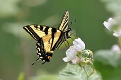 Canadian Tiger Swallowtail (brian.bemmels) Tags: papiliocanadensis papilio canadensis canadiantigerswallowtail swallowtail butterfly insect nature fauna outdoors wildlife delta bc britishcolumbia canada papilionidae