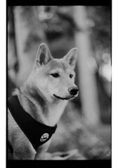 P63-2018-011 (lianefinch) Tags: argentique argentic analogique analog monochrome blackandwhite blackwhite bw noirblanc noiretblanc nb chien dog dogs chiens shiba inu fox renard animal nature