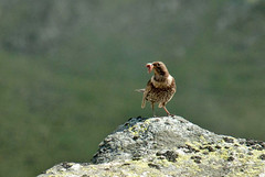 Cirque de Gérac (Ariège) (PierreG_09) Tags: ariège pyrénées pirineos couserans ustou occitanie midipyrénées montagne merleàplastron turdustorquatusringouzel passeriformes capiblanco ringdrossel sepelrastasfaune oiseau gérac cirque