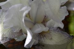 DSC_2016 (griecocathy) Tags: fleur iris coeur pétale eau reflet perle argile macro blanc violet jaune vert marron