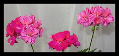Batik. A Splash Of Pink (M E For Bees (Was Margaret Edge The Bee Girl)) Tags: flowers flowerscolors indoors pink petals three zonalpelagoniums geranium canon bright curtain growing flowering colours stripes