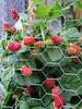 So many blackberries (pr0digie) Tags: blackberry blackberries berries garden harvest chickenwire plant plants